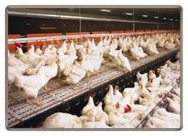 Кто выбросил на украинский рынок около 200 тонн венгерской курятины, зараженной сальмонеллезом