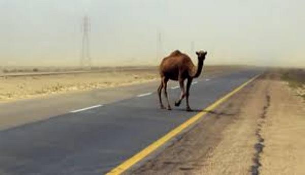 В Казахстане элитное авто попало в кровавое ДТП с верблюдом